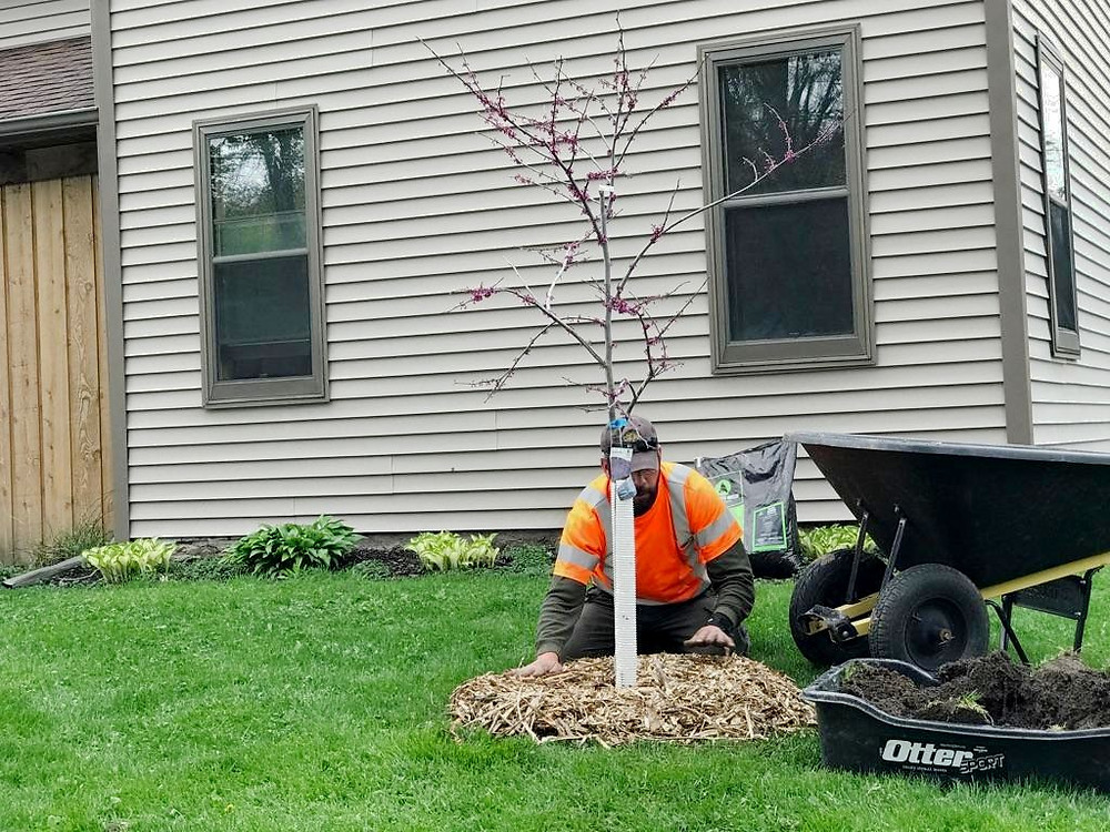 Root Down Tree Service planting a Redbud tree