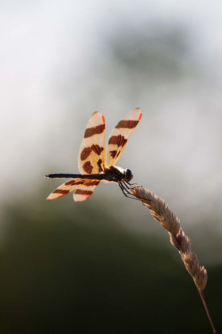 Nature - Dragonfly