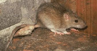 уничтожение крыс в сургуте
