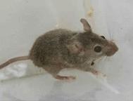уничтожение мышей в сургуте