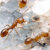 муравьи Сургут