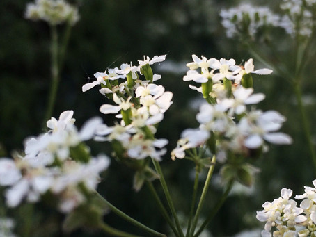 Anthriscus Sylvestris: Cow Parsley or Fairy Lace
