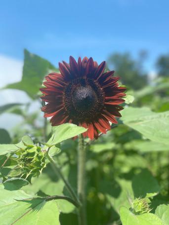 FDL Sunflower.jpg