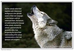 32 wolf comunicate copy