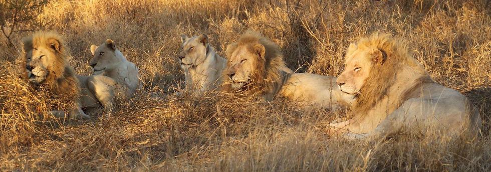 White Lion Pride.jpg