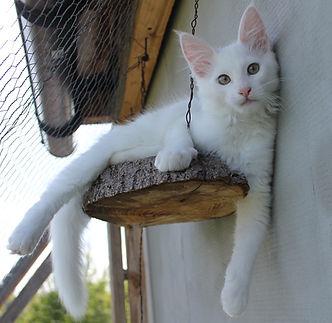 Bardzo dobry Hodowla kotów Turecka Angora DW92