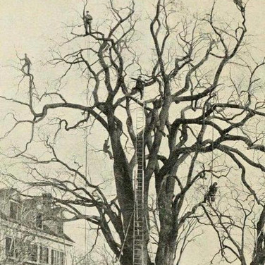 Extreme tree pruning crew from the late 1800s.