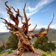 Nicknamed 'Methuselah' this Californian bristlecone pine tree was seeded in the year 2833 BC, which makes this tree 4,850 years old.