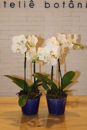 Orquídea Phalaeanopsis no Cachepot de Cerâmica