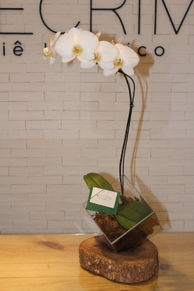 Orquídea Phaleanopsis em Cachepot de Vidro