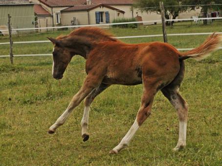 Régionaux Foals