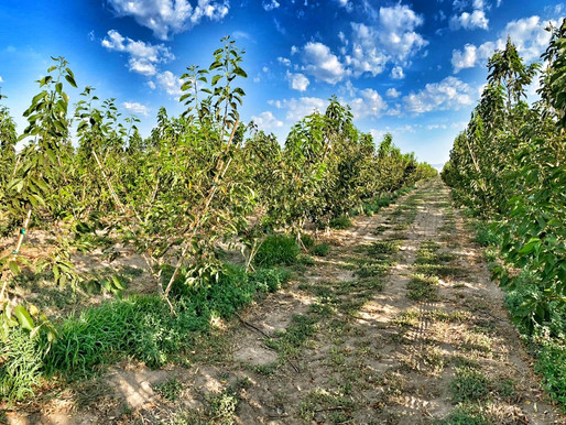 Keeping a strong growth for Washington cherry trees