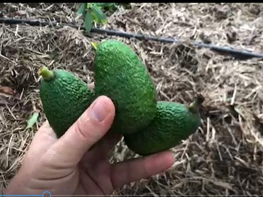 Avocados fruit Drop - explained