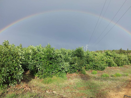 Avocado trees don't like treated wastewater. We asked them!