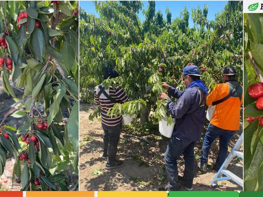 Cherry picking in California