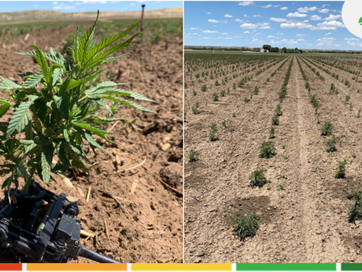 Hemp growers are connected to their plants