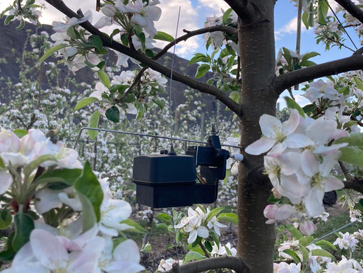 Apple and pear growers in WA: avoiding disease and reacting to stress