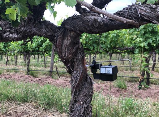 Veraison is made visible