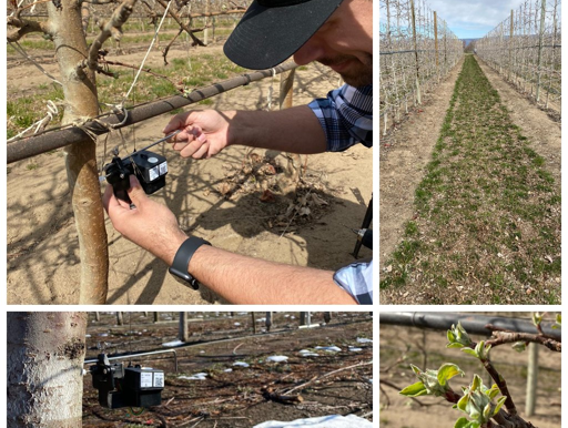 Apple trees in Washington are blooming - and communicating
