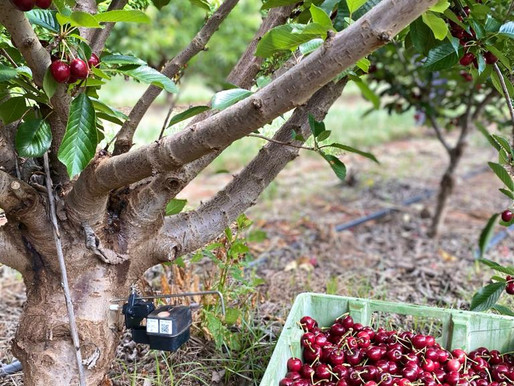 Think fast: Data is critical to achieve premium cherries