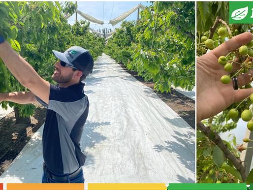 Cherry growers in Washington enjoying 60% water saving