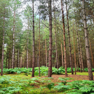 Beautiful, tall trees in the Forest of Dean