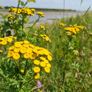 A burst of yellow flowers along the estuary
