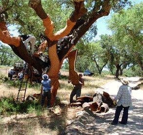 Cork tree bark being harvested by skilled workers