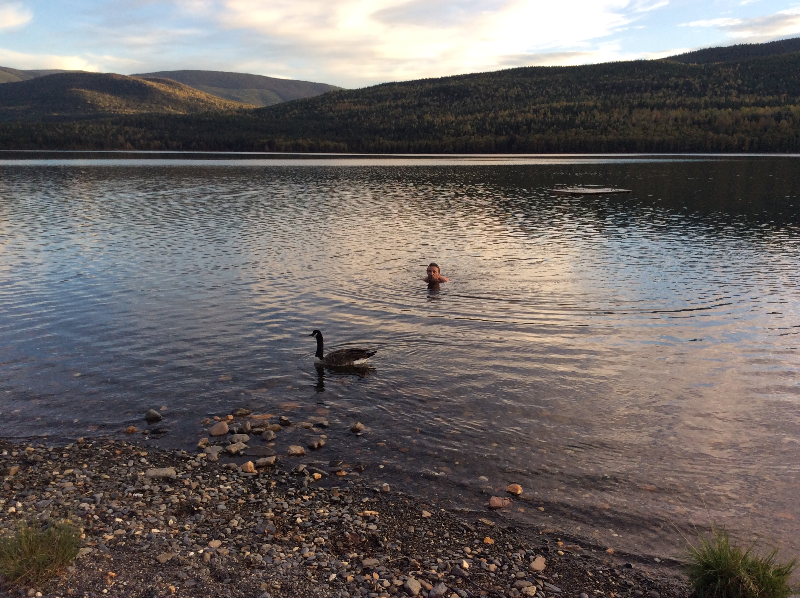 Al swims with goose