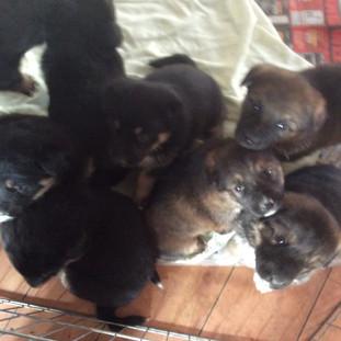 Bossy's pups born December 6, 2017