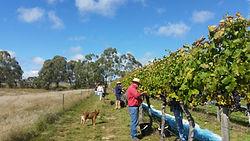 Wine Grape picking