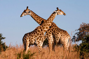 Zenzele River Lodge Giraffe