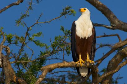 African_Fish_Eagle_AdF.jpg