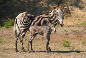 Zenzele River Lodge Zebra
