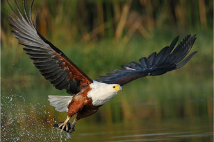 Zenzele River Lodge Fish Eagle