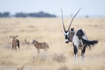 gemsbok-oryx-gazella-female-calves-15280
