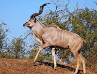 Zenzele River Lodge Kudu