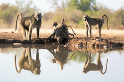 Zenzele River Lodge Baboons