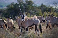 a-group-of-oryx.jpg