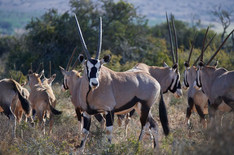 a-group-of-oryx.jpg
