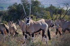 Zenzele River Lodge Oryx