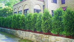 Dark+Green+Arborvitae+hedge.jpg