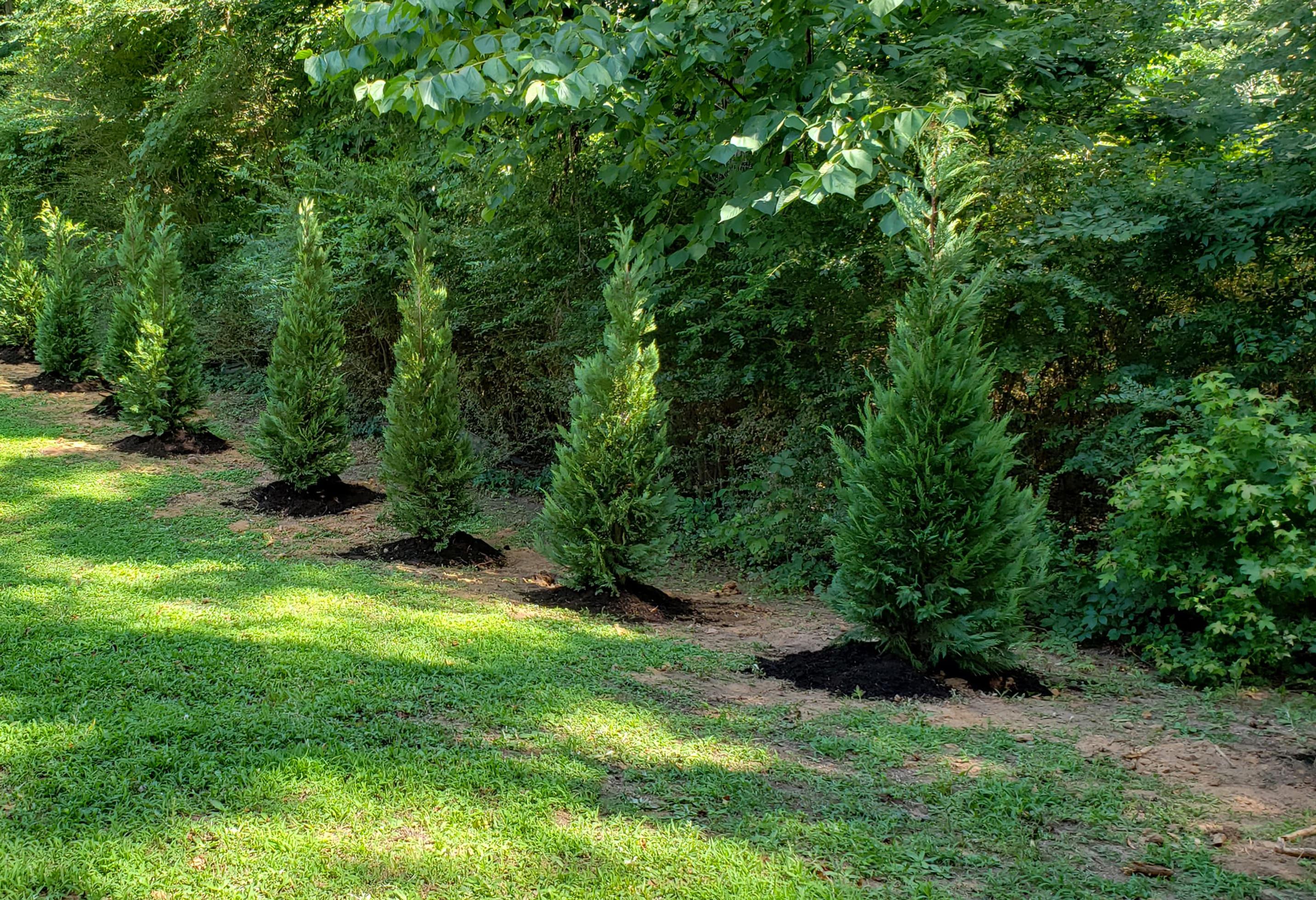 Mature height of leylandi cypress