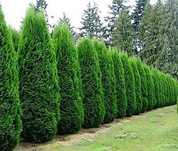 Arborvitae_Emerald_Green.jpg