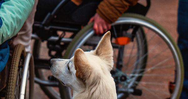 Assistenzhund am Rollstuhl.jpg