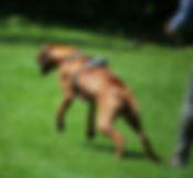 Hund Aggression Rhodesian Ridgeback Leinenaggression