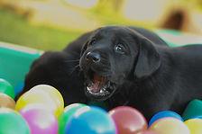 Welpe Labrador Labradorwelpe Welpenkurs Hund