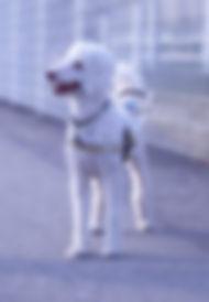Blindenführhund_Asssistenzhund.jpg