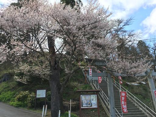 ようやく桜の季節到来