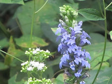 Blue & White Wildflowers.JPG